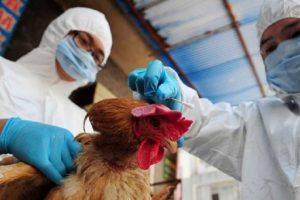 Kina raporton rastin e parë njerëzor me grip shpendësh. Ekziston kërcënimi për pandemi tjetër?